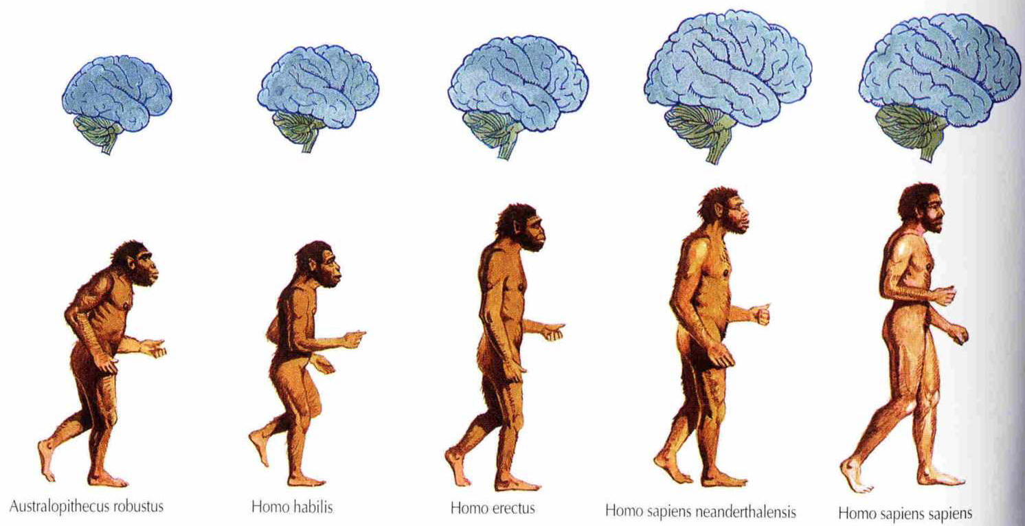 Early Humans Evolution Evolution of the Human species